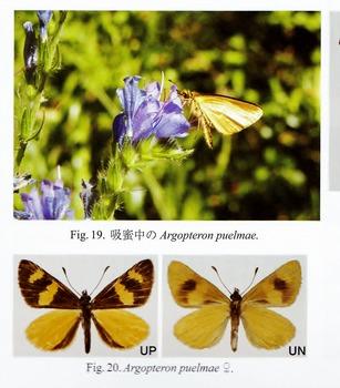 Argopteron puelmae.jpg