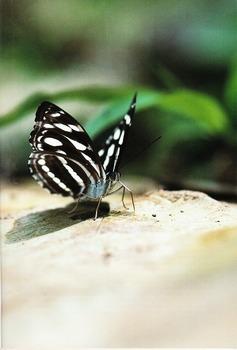 Athyma larymna (Butterflies No. 5).jpg