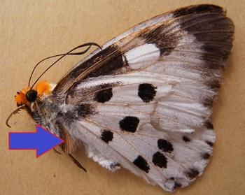 C. pieridoides.jpg