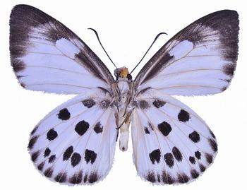 Capila pieridoides M UN.jpg