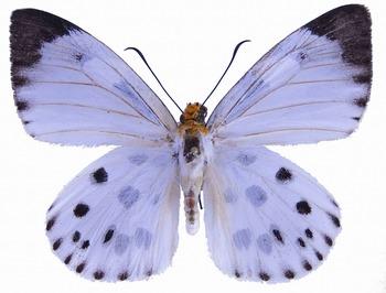 Capila pieridoides M UP.jpg