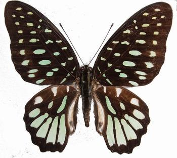 G. meeki (Bougainevile, PNG).jpg