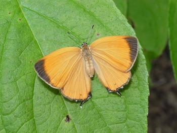 Japonica lutea upperside.jpg