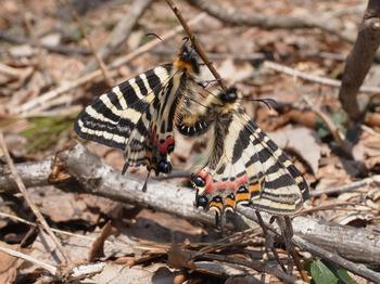 L. japonica (Mating).jpg