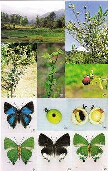 Laos eryx (Butterflies No.17).jpg