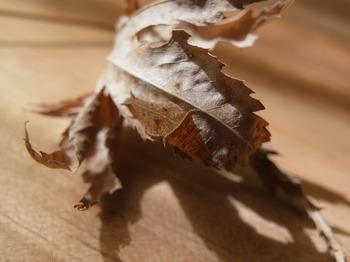 Neptis philyra larva-1.jpg