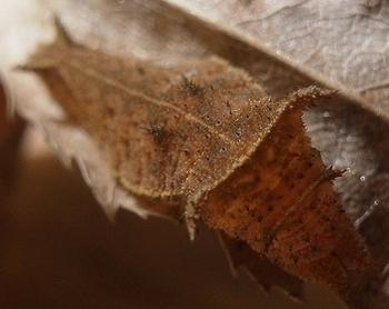 Neptis philyra larva-2.jpg