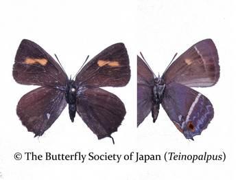 P. reginae female.jpg
