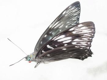 adult butterfly.jpg