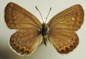 argyrognomon female 1953 UP.JPG
