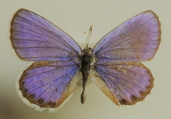 argyrognomon male 1953 UP.JPG