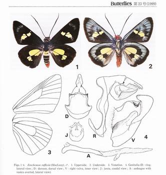 s-The Regent Skipper (Butterflies No.23).jpg