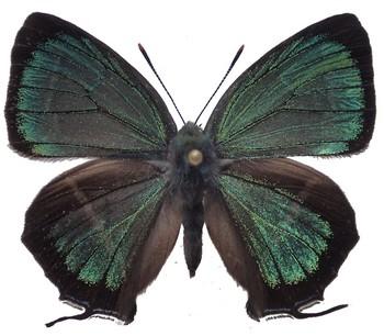 C. hisamatsusanus UP.jpg