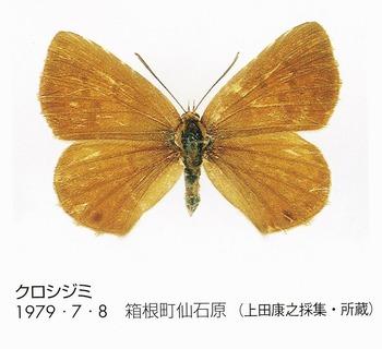N. fusca (Kanagawa).jpg