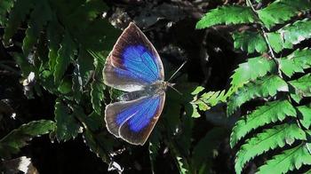 Narathura japonica.jpg