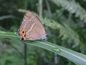 Neozephyrus japonicus.jpg