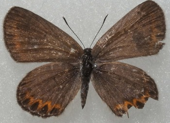 argyrognomon female 1987 UP.jpg