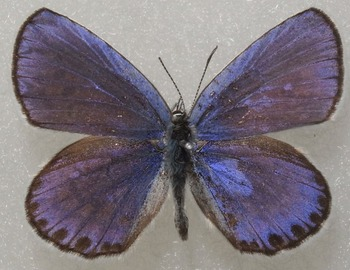 argyrognomon male 1987 UP.jpg