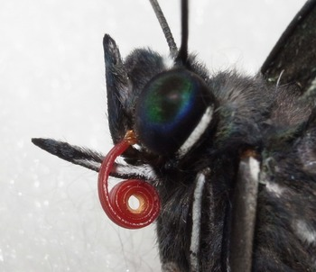 proboscis magnified.jpg